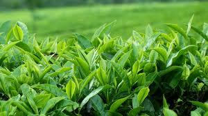 Camellia Sinensis plantation in Ceylon (ceyloblacktea.com)